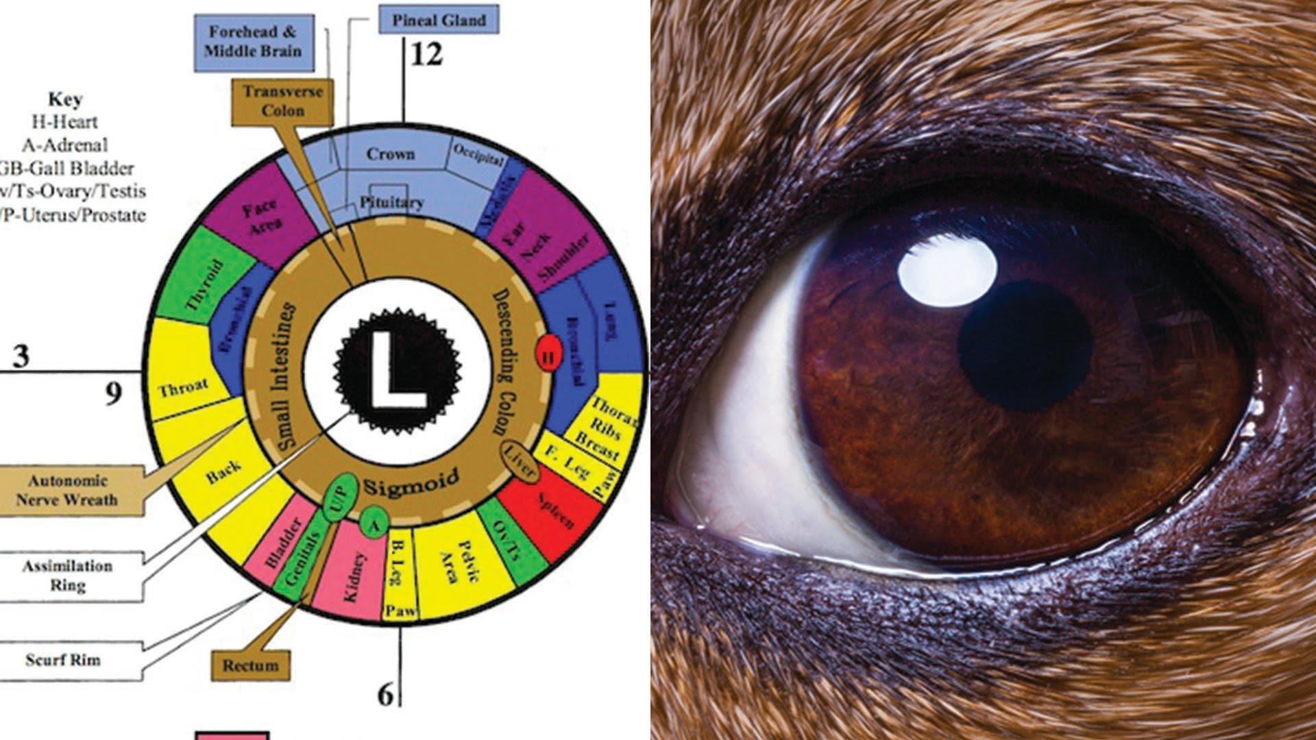 Dog and Cat Iridology Chart