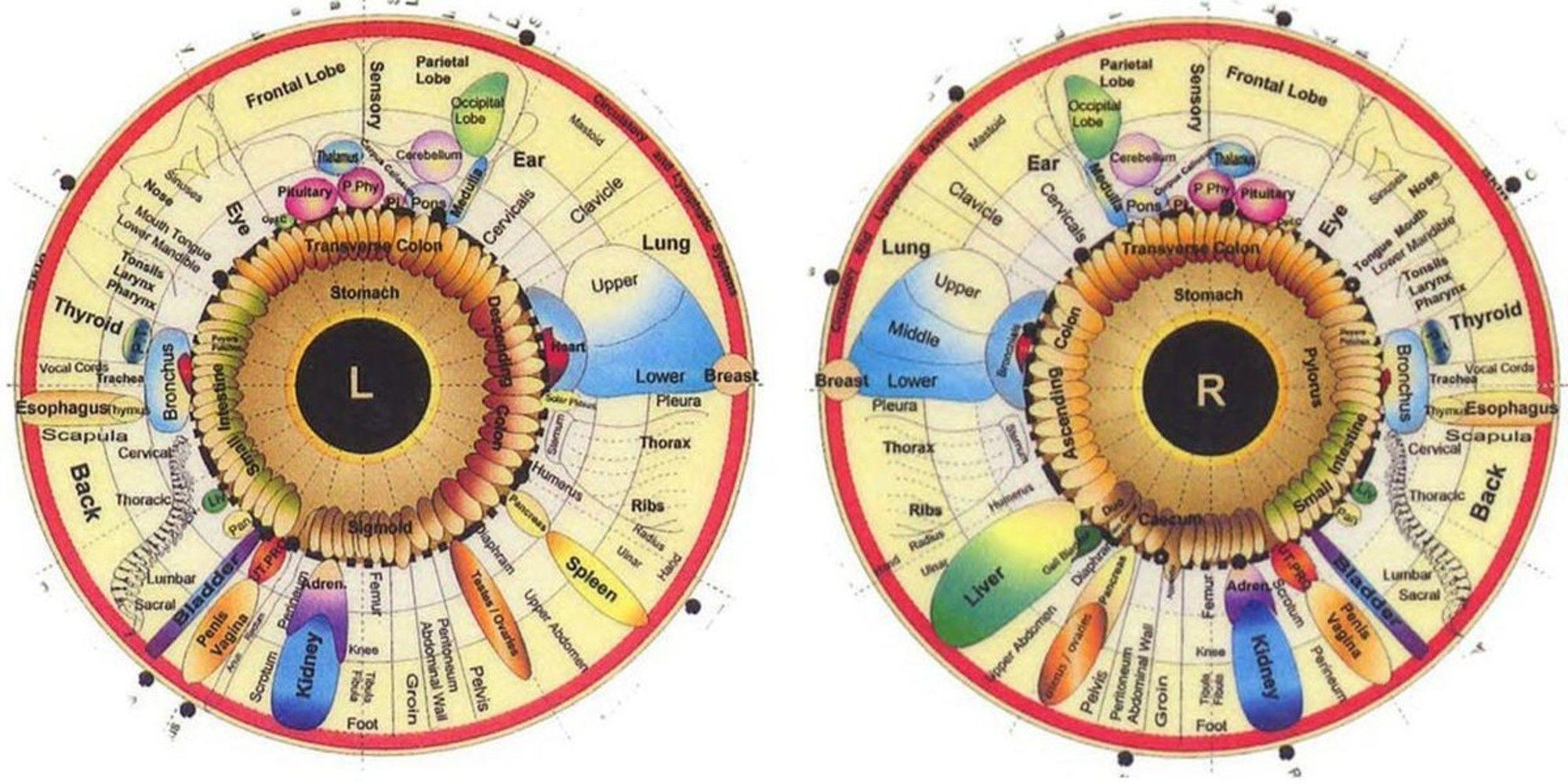 What is iridology diagnosis chart iriscope iridology camera what is iridology diagnosis chart geenschuldenfo Choice Image
